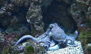 Color Blind Camouflage Ironically Camouflaging Octopi U0026 Squids Are Colorblind Study