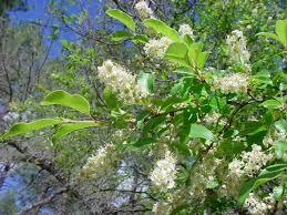 vascular plants of the gila wilderness vascular plants of the gila wilderness prunus serotina var virens