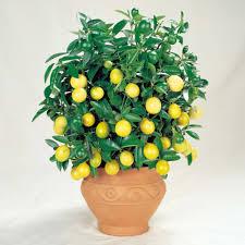 sabías que puedes cultivar fruta sin tener un jardín fruit