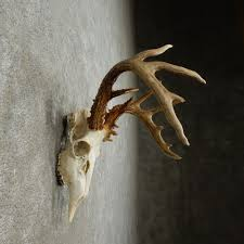 whitetail deer skull european mount for sale 15937 the