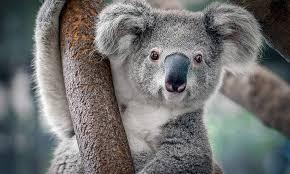 koalas are not bears album on imgur