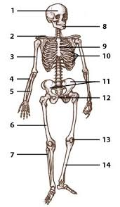 Anatomy And Physiology Muscle Labeling Exercises Anatomy And Physiology Labeling Quiz Free Download 10 Samples Free