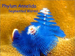 phylum annelida segmented worms ppt download