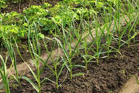 wide row vegetable garden beds harvest to table