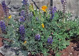 california native plant nursery lupinus succulentus u2013 the watershed nursery