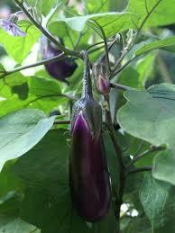 eggplants in the vegetable garden wearefound home design