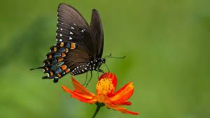 black butterfly wallpaper wallpaper studio 10 tens of