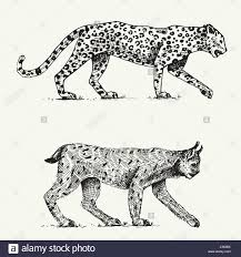 wild cats set leopard and lynx engraved hand drawn in old sketch