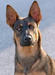 belgian shepherd x roarke the belgian malinois mix dogs daily puppy