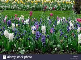 mixed bed border spring blooming bulbs purple white pink colour