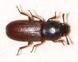 Biscuit Beetle In Bedroom Pest Identification Pestanators Pest Control Evansville In