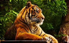 wallpaper jungle tiger sumatran tiger desktop wallpaper