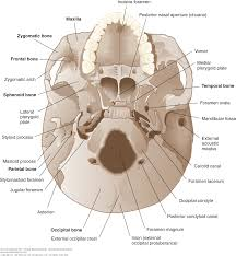 Floor Of The Cranium Chapter 11 Ventricles And Coverings Of The Brain Clinical