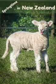 springtime in new zealand baby lambs in shakespear park albom
