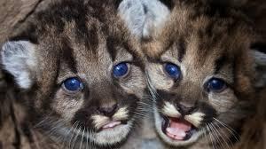 imagenes de leones salvajes gratis fotos gratis naturaleza linda fauna silvestre joven gato de