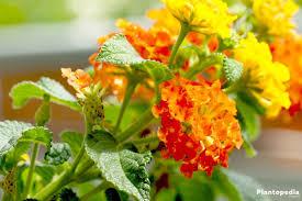 Verbena Flower West Indian Lantana Plant Verbena Flower How To Care And Grow
