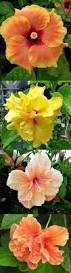 Which State Has A Hibiscus by 233 Best Hibiscus Images On Pinterest Hibiscus Flowers Tropical