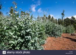 eucalyptus globulus tasmanian blue gum trees in a nursery in the