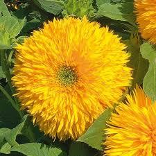 teddy sunflowers sunflower seeds teddy