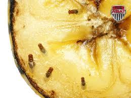 petites mouches cuisine la mouche drosophile information
