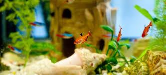 remove algae from aquarium decorations doityourself