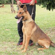 belgian shepherd rescue dogs belgian malinois info temperment care puppies pictures training