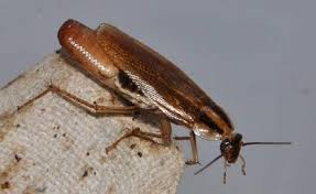 light brown roach looking bug how to kill cockroaches