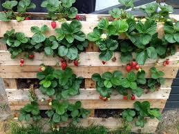 Strawberry Garden Beds Strawberry Container Gardening Gardening Ideas