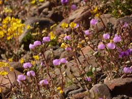 death valley springs to life with millions of flowers in rare