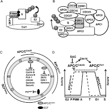 apc c and retinoblastoma interaction cross talk of retinoblastoma