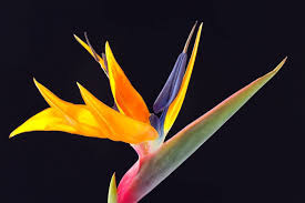 37 attractive bird of paradise flower wallapaper u0026 pictures picsmine