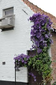 109 best climbing plants images on pinterest climbing plants
