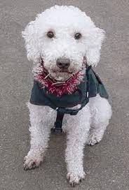 bedlington terrier stud bedlington terrier small dog breed info