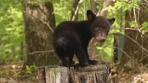 West Virginia wildlife images Wv wildlife west virginia bears wchs jpg