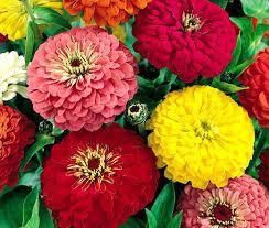 zinnia flower zinnia dahlia zinnia elegans seeds