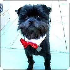 affenpinscher dog names francis bacon in raleigh nc adopted dog raleigh nc