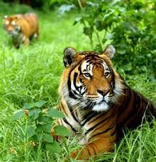 tiger in the jungle tigers and wildlife