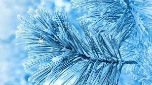 winter frosted winter pine blue cold frosty tree snow