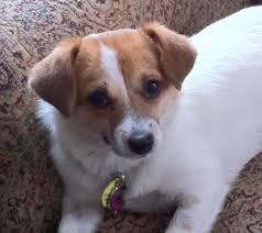 jack russell american pitbull terrier mix tia the jack russell terrier chihuahua mix project dog