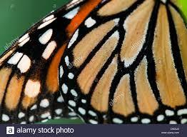 danaus plexippus monarch butterfly wing pattern stock photo
