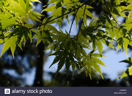 up of a cluster of japanese maple tree leaves with the sun