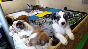 australian shepherd blue heeler 6 week old aussie heeler puppies youtube