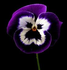 black flower posing pansy by vanda s pictures purple black and white color