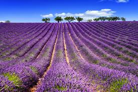 purple color meaning purple flowers meaning flower meaning