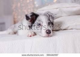 australian shepherd 3 months old teen sitting on carpet room stock photo 568558558 shutterstock