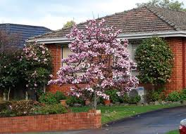 Good Backyard Trees by Saucer Magnolia Best Trees To Plant 10 Options For The