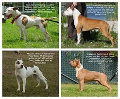 american pitbull terrier in india pit bulls against misinformation what is a pit bull