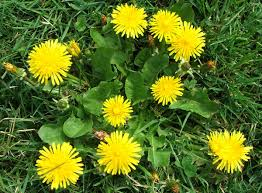 Weed Or Flower Pictures - lawn weeds bishop spray service