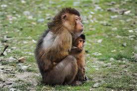free stock photo of animals beruk breastfeeding