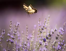 When Is Lavender In Season In Michigan by Purple Reign Fortwayne Com
